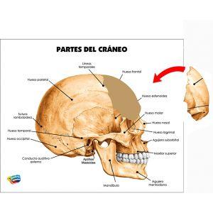 PARTES DEL CRÁNEO